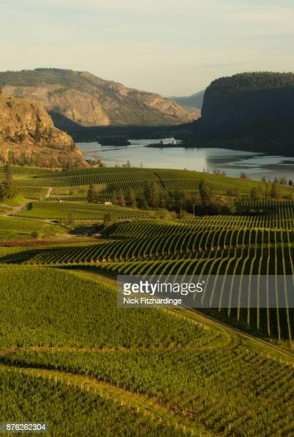 rows of vines in blue mountain vineyard, okanagan valley, british columbia, canada - okanagan valley stock pictures, royalty-free photos & images