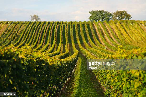 Rows of vines organized to precision in a vineyard