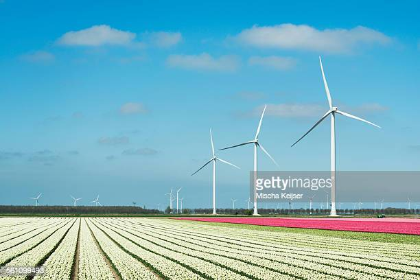 Rows of white and pink flower blooms and wind turbines, Zeewolde, Flevoland, Netherlands