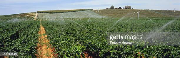 rows of wine grapes with irrigation - timothy hearsum photos et images de collection