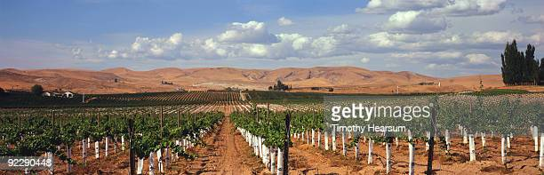 rows of wine grapes with mountains beyond - timothy hearsum stockfoto's en -beelden