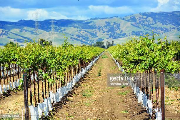 rows of yolo county calfornia commercial vineyards - yolo stock-fotos und bilder