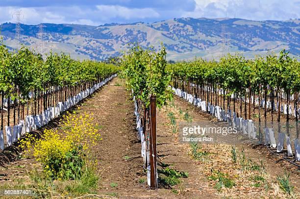 rows of yolo county california vineyards - yolo stock-fotos und bilder