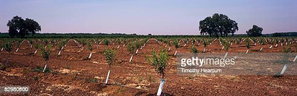 rows of young almond trees - timothy hearsum photos et images de collection