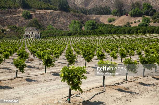 rows of young citrus/lemon trees adjacent to an abandoned house and tree studded foothills - timothy hearsum stock pictures, royalty-free photos & images