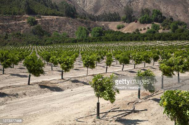 rows of young citrus/lemon trees adjacent to tree studded foothills - timothy hearsum stock pictures, royalty-free photos & images