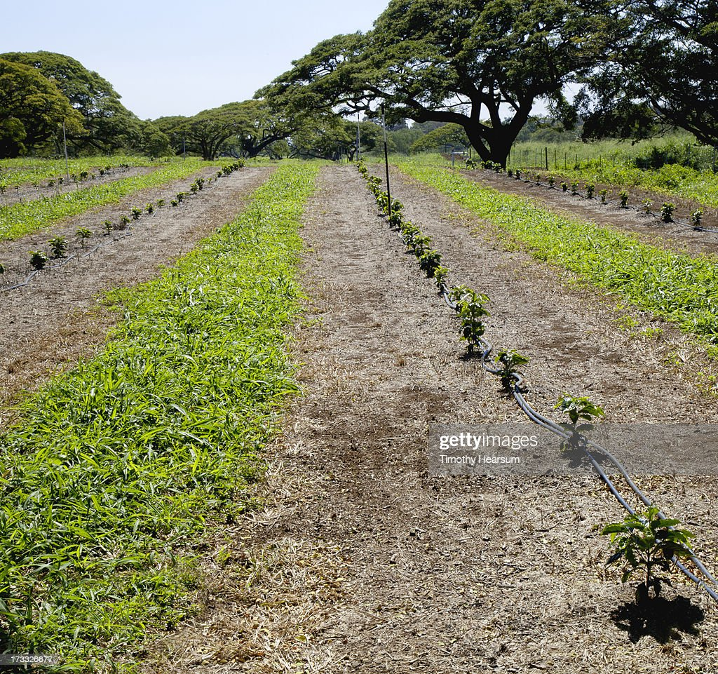 Rows of young coffee trees : Stock Photo