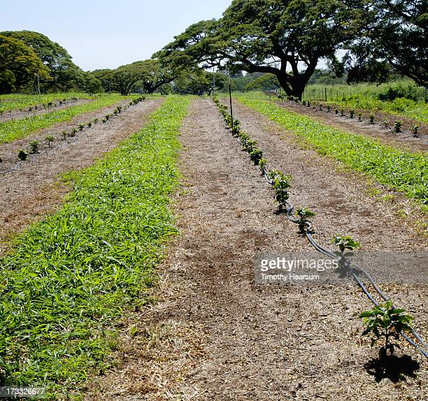 rows of young coffee trees - timothy hearsum stock photos and pictures