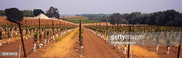rows of young grapevines with farm buildings - timothy hearsum stock pictures, royalty-free photos & images