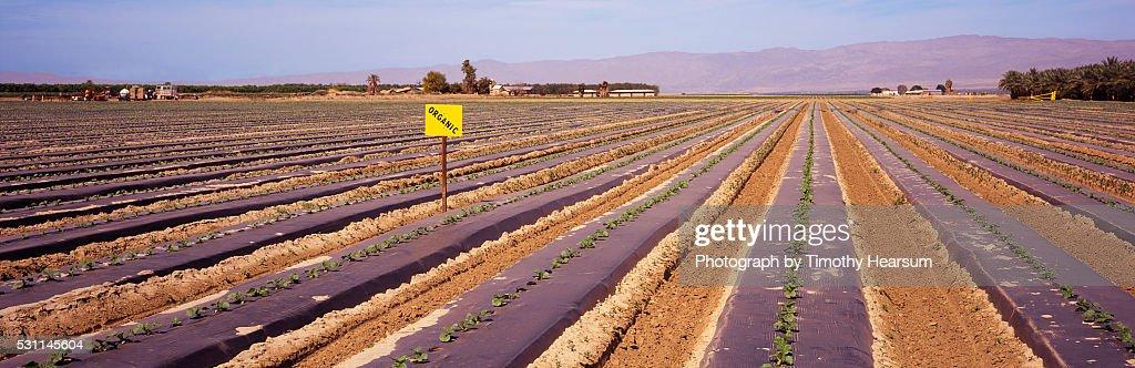 Rows of young organic melon plants : ストックフォト