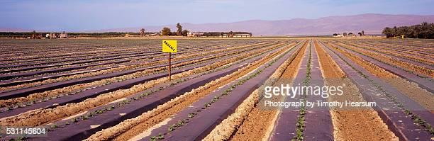 rows of young organic melon plants - timothy hearsum stock-fotos und bilder