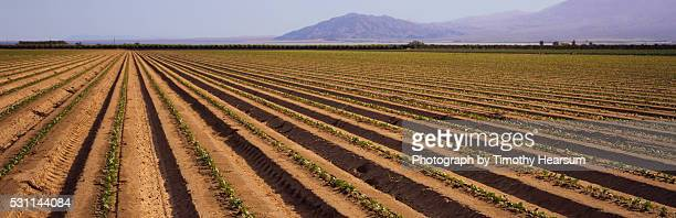 rows of young soy bean plants - timothy hearsum stock pictures, royalty-free photos & images