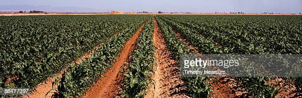 rows of young sweet corn - timothy hearsum stock photos and pictures