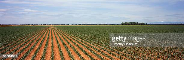 rows of young sweet corn plants - timothy hearsum stock photos and pictures