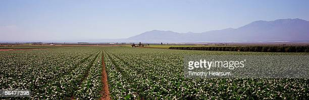 rows of young sweet corn with mountains beyond - timothy hearsum ストックフォトと画像