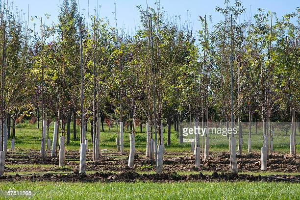 Rows of Young Trees on a Tree Farm