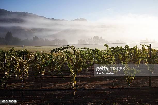 Rows on grape vines in vineyard, California, USA
