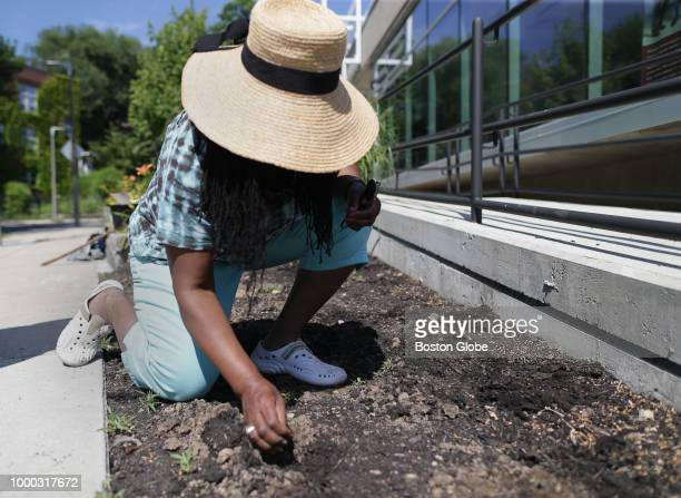Roxbury artist Ekua Holmes plants sunflower seeds outside the Freedom House in the Roxbury neighborhood of Boston on July 10 2018 Holmes' Roxbury...