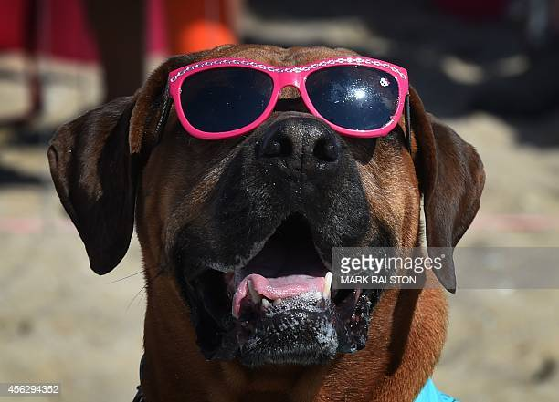 Roxy the Surf Dog waits for her heat in the X Large division during the 6th Annual Surf Dog competition at Huntington Beach, California on September...