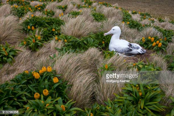 Royal albatross nesting amongst yellow Bulbinella rossii flowers commonly known as the Ross lily on Campbell Island a subAntarctic Island in the...