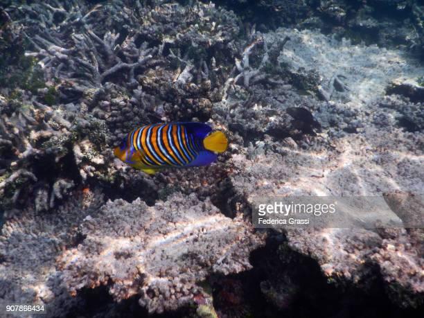 Royal Angelfish or Regal Angelfish (Pygoplites diacanthus)