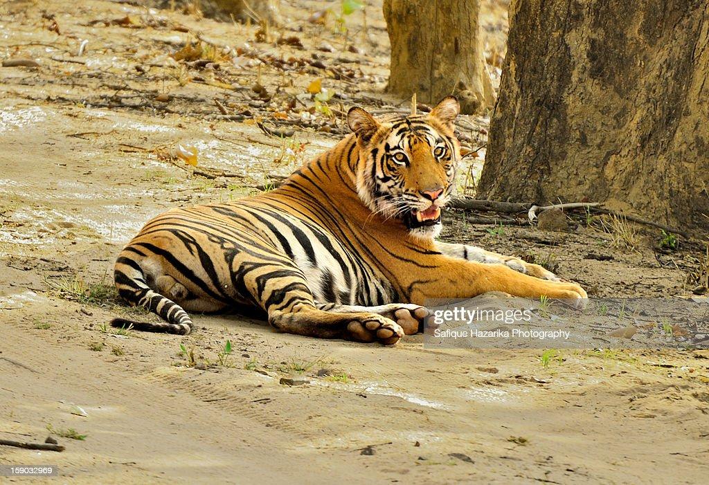 Royal Bangal Tiger : Stock Photo