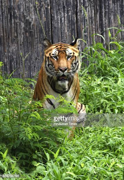 Royal Bengal tiger Bittu inside his enclosure on the occasion of International Tiger Day at Delhi Zoo on July 29 2017 in New Delhi India Global Tiger...