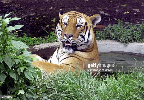 A Royal Bengal tiger cools off in a pond at Kathmandu Zoo 15 June 2003 during another day of high temperatures Tigers are a protected species in...