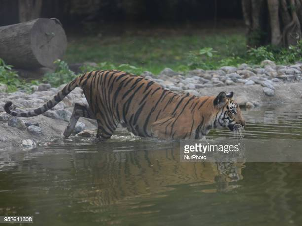 Royal Bengal Tiger is seen at the under the water a Summer weather on April 282018 in KolkataIndia