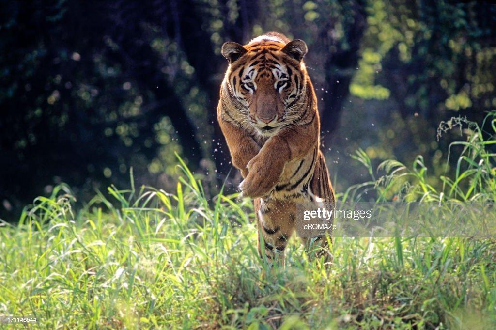 Royal Bengal Tiger jumping through long green grass : Stock Photo