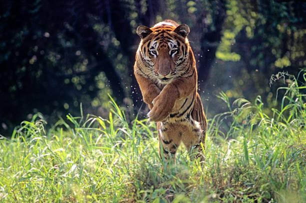 Royal Bengal Tiger jumping through long green grass