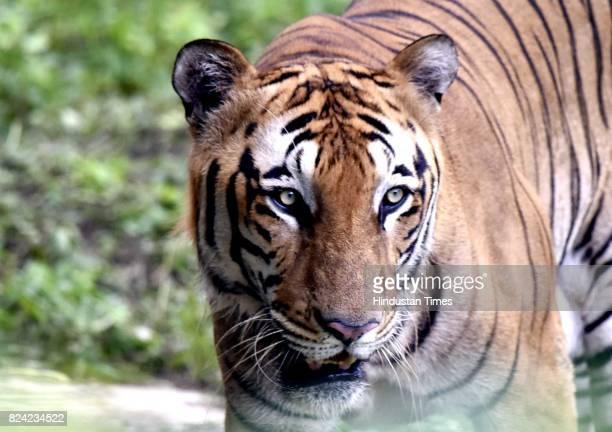 Royal Bengal tiger Karan inside his enclosure on the occasion of International Tiger Day at Delhi Zoo on July 29 2017 in New Delhi India Global Tiger...