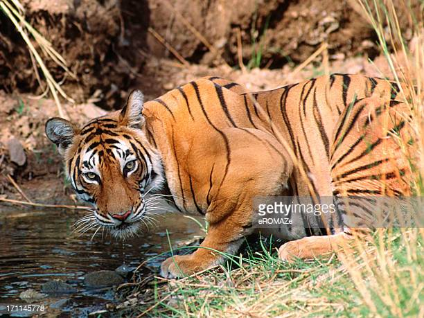 royal bengal tiger - ranthambore national park stock pictures, royalty-free photos & images