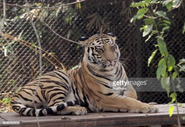 A Royal Bengal tiger rests inside its captive cage at the Nandankanan Zoological park outskirts of the eastern Indian state Odishas capital city...