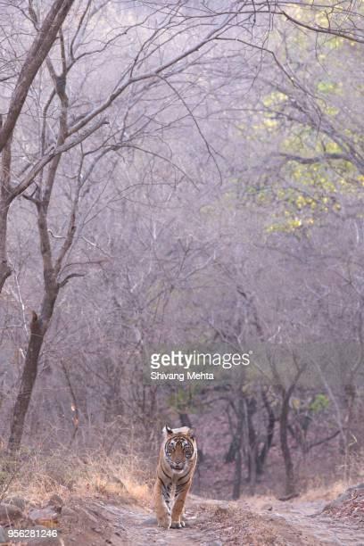 Royal Bengal Tiger walking on forest track