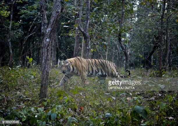 Royal Bengal Tiger walks inside his open enclosure at Bengal Safari Park located on the outskirts of Siliguri on February 11, 2018. / AFP PHOTO /...