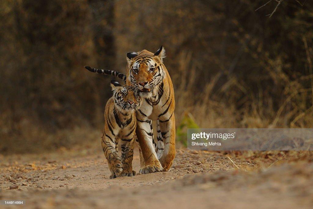 Royal Bengal tiger with cub : Stock Photo