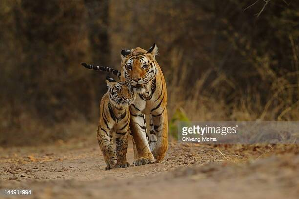 royal bengal tiger with cub - bandhavgarh national park stock pictures, royalty-free photos & images