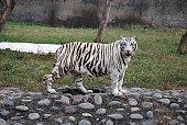 Royal Bengal WhiteTiger