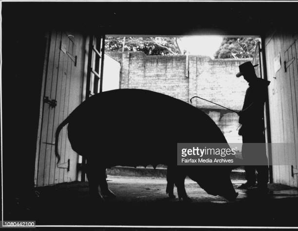 Royal Easter Show***** 8 Year old from Mt Penang with a huge pig April 10 1999