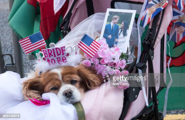 Royal fan Anne Daley with her dog Camilla camps on the street close to Windsor Castle ahead of the royal wedding of Prince Harry to Ms Meghan Markle...