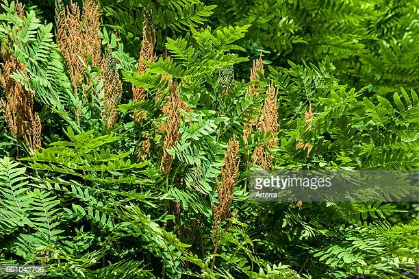 Royal fern / flowering fern showing fertile and sterile fronds in spring
