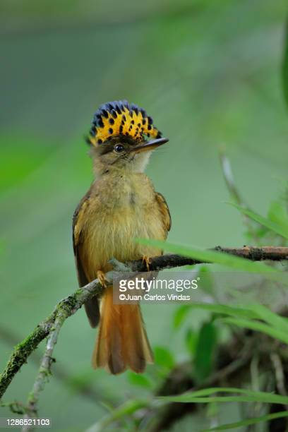 royal flycatcher - 2017 stock pictures, royalty-free photos & images