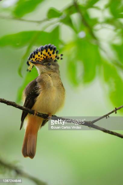 royal flycatcher - royalty stock pictures, royalty-free photos & images