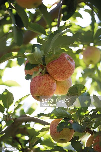 royal gala apples in a tree - royal gala apple stock photos and pictures