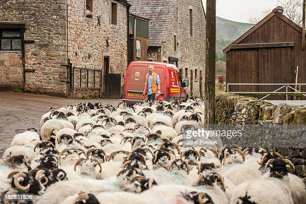Royal Mail delivering to a farm with postman and Swaledale sheep in the farmyard, Whitewell, Lancashire.