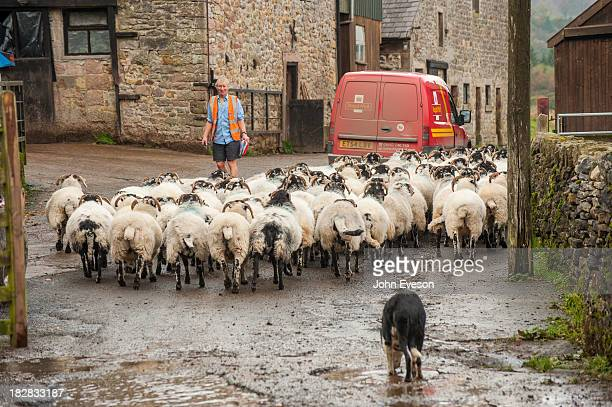 Royal Mail delivering to a farm with postman, Swaledale sheep, and Border Collie sheepdog in a farmyard.