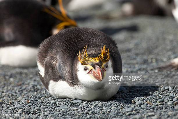Royal penguin Eudyptes schlegeli lying down facing camera Macquarie Island Sub Antarctic administered by Tasmania Australia