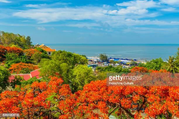 Royal poinciana blossoms In summer of Vietnam against deep blue sky