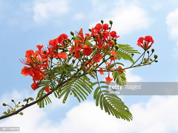 royal ponciana - flamboyant - flame tree - delonix regia - fabaceae - caesalpinioideae - stuart florida stock pictures, royalty-free photos & images